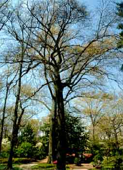 Pignut Hickory  Department of Horticulture