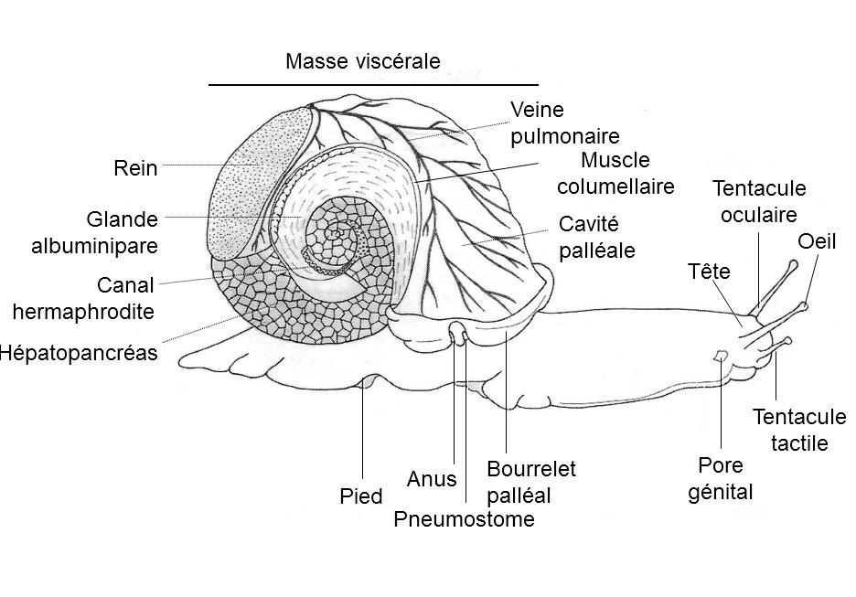 Dissection de l'escargot