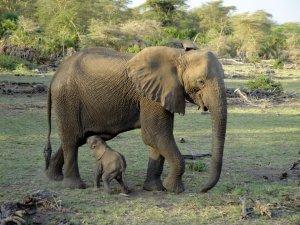 africa15 elefanta e piccolo