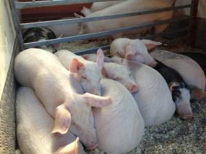 calderoli1 porci[3]