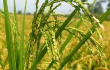 Il riso italiano gravemente danneggiato dalle importazioni dall'estremo Oriente. I problemi vengono anche dalle norme comunitarie