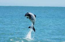 Nuova Zelanda: sta scomparendo una specie rarissima di delfini a causa della pesca