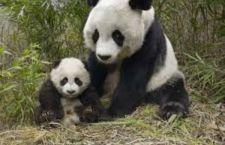 Cina: rischiano la pena di morte per aver ucciso e mangiato un Panda