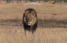 """Pagano """"mazzetta"""" di 55 mila dollari per abbattere Cecil, leone simbolo dello Zimbabwe"""