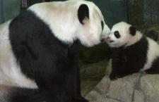Washington: nascono due panda allo zoo dopo l'inseminazione artificiale