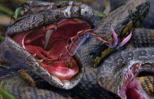 A rischio la produzione del vaccino contro i serpenti e di migliaia di vite nel mondo