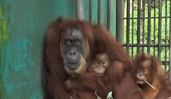 Orango di Sumatra in cattività