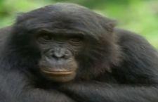 Sempre più a rischio i primati in tutto il mondo