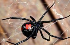 Il veleno dei ragni per riparare i danni dell' ictus