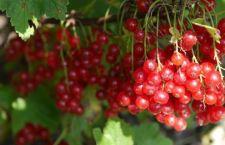 Il mannosio presente nei mirtilli ed altri frutti contro il cancro