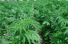 Cannabis: Cassazione no alla vendita dei derivati