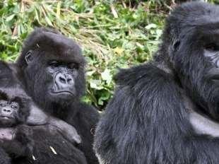 gorilla spece