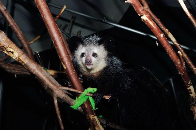 a lemur on tree limbs