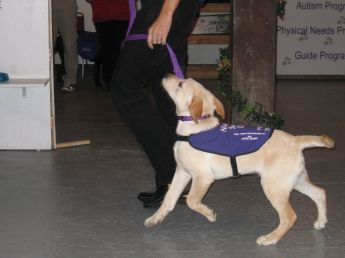 A puppy in training at the National Service Dogs showing how to walk on a loose leash.