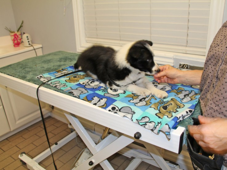 The puppy receives a treat while up on exam table