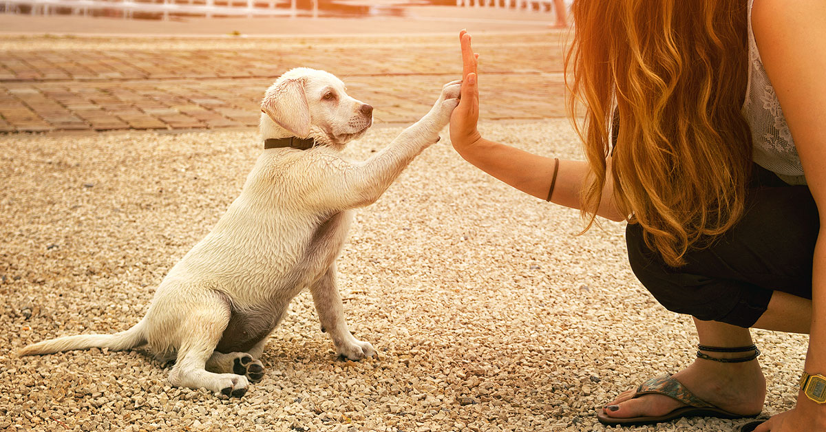 On the left a lab puppy is sitting facing a woman on the right. The labrador has his right paw up in the air touching the woman's right hand which is also coming out to meet his paw. Basically they are high fiving each other.