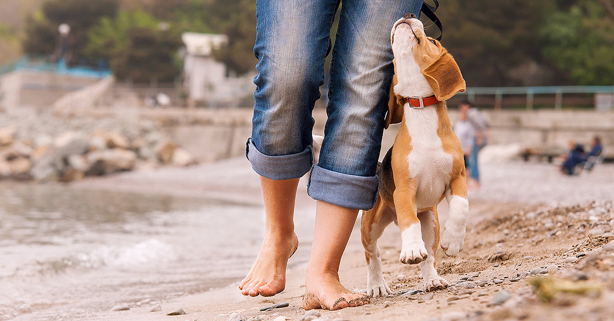A woman walks barefoot along the beach with a beagle puppy walking at her side, looking up at her