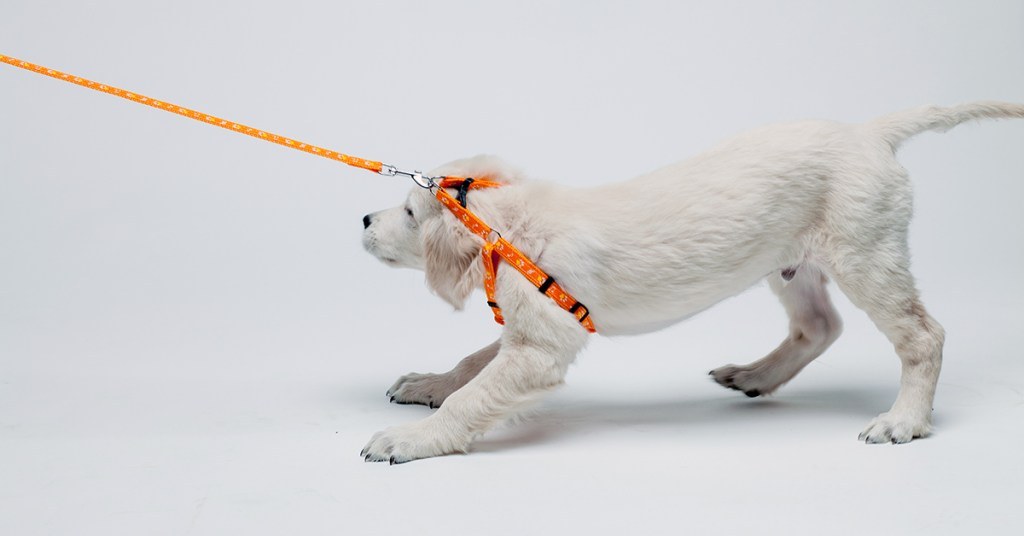 puppy pulling back while on leash