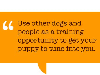"Pull quote: ""Use other dogs and people as a training opportunity to get your puppy to tune into you."""