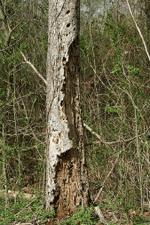 Termites in Trees