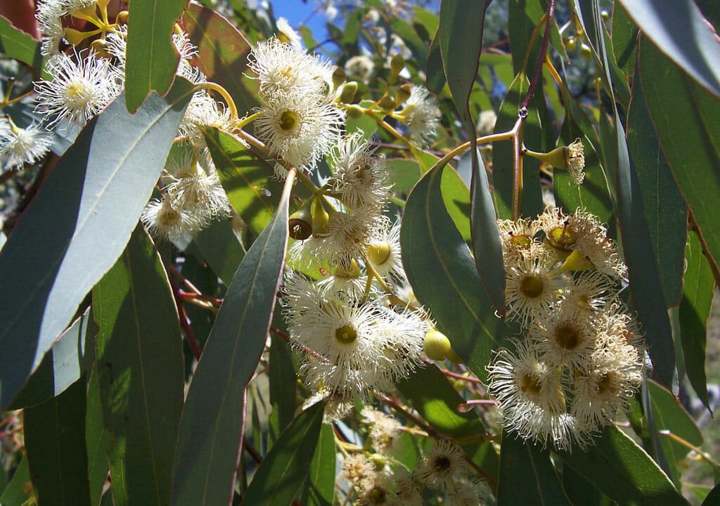 albero sacro aborigeno