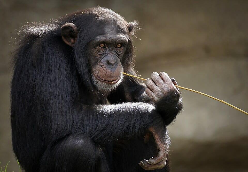processo della scimmia