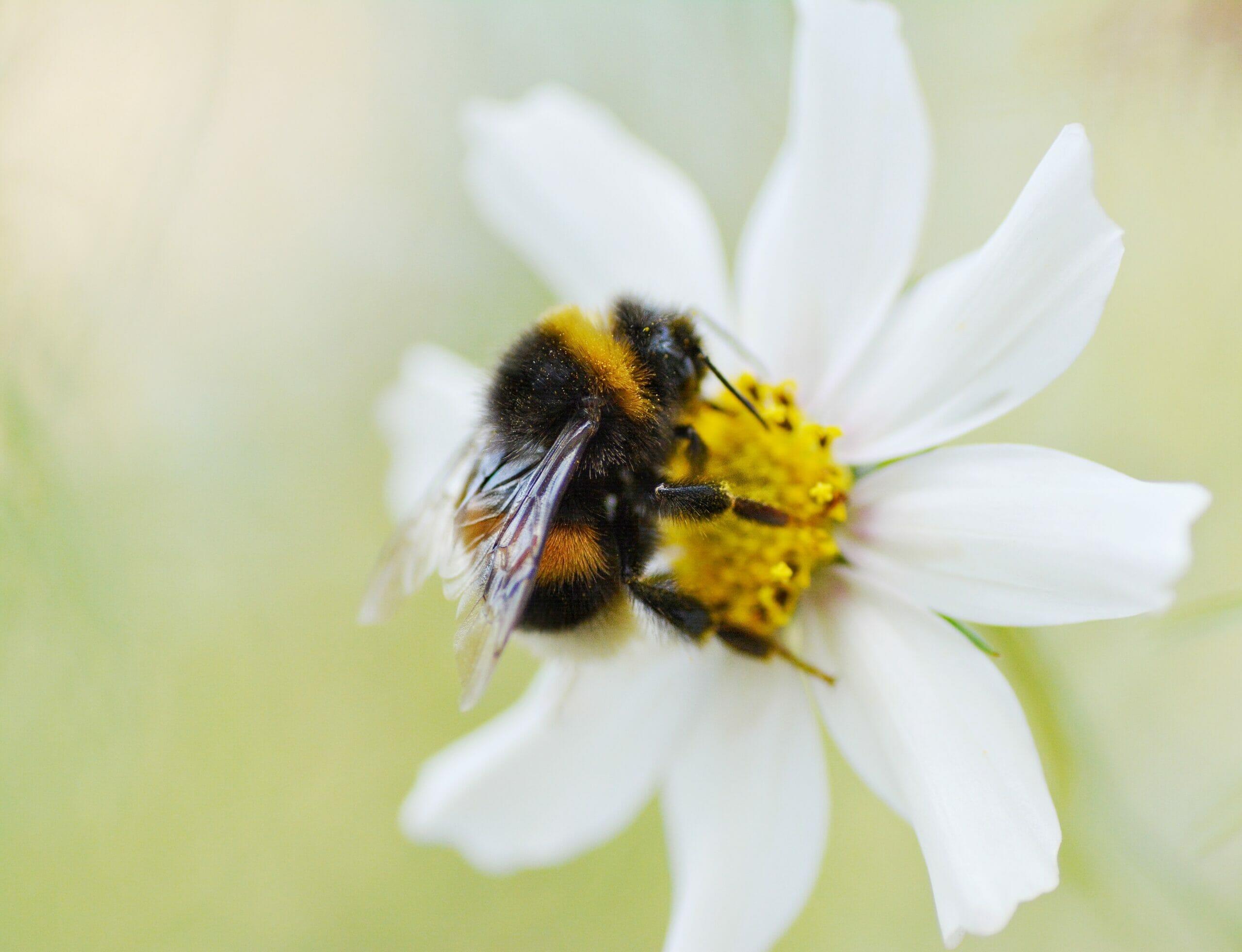 Le-api-arrabbiate-producono-un-veleno-molto-più-proteico