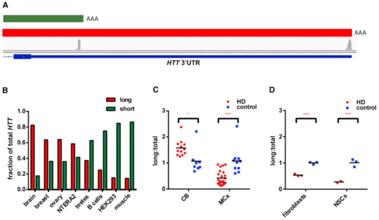 hight resolution of alterations in mrna 3 utr isoform abundance accompany gene expression changes in human huntington s disease
