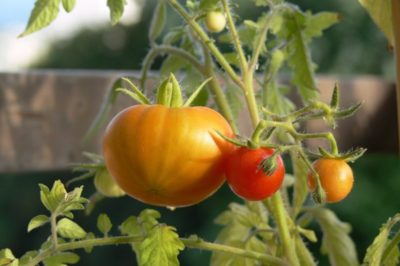 pomodori orto