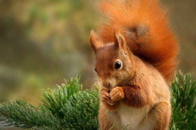 Lo scoiattolo rosso torna a Perugia, era scomparso da anni