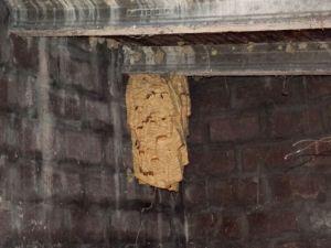 Calabroni nido 1