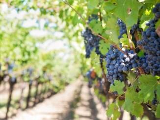 Mercato vitivinicolo: circa 1 milione 400 mila euro per promozione