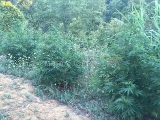 """Aveva 18 piante di marjuana nell'orto a Città della Pieve, denunciato """"coltivatore"""""""