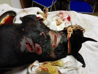 Pitbull azzanna cagnolino a Bastia, guardate come l'ha ridotto