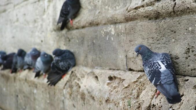 Lotta ai piccioni sui tetti di Perugia ordinanza del sindaco