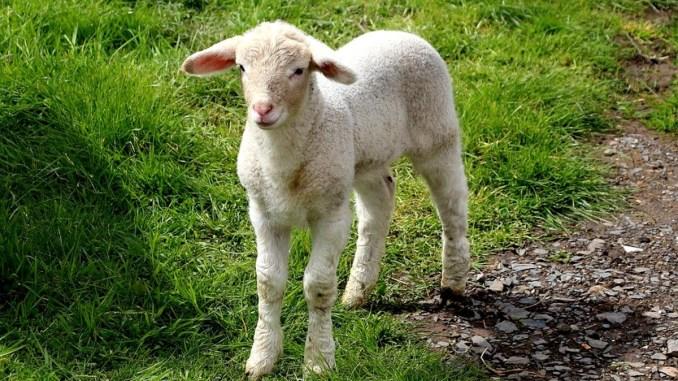 Per Pasqua niente agnelli e capretti ok? Lo chiede Earth Umbria