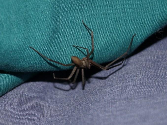 Vigile urbano morso dal ragno violino, salvato, grazie ai medici di Terni VIDEO