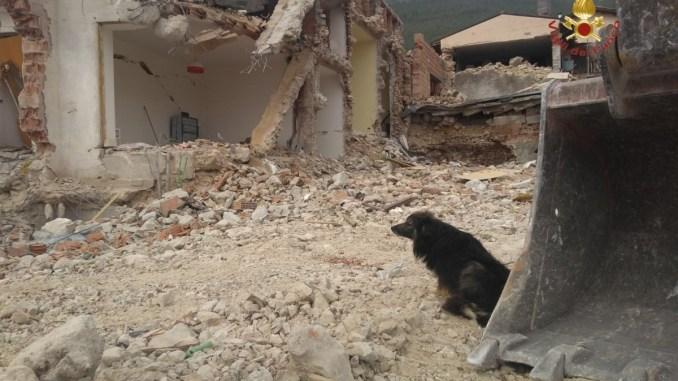 Terremoto, Nerone, il cane solitario tra le macerie di San Pellegrino amico dei vigili del fuoco