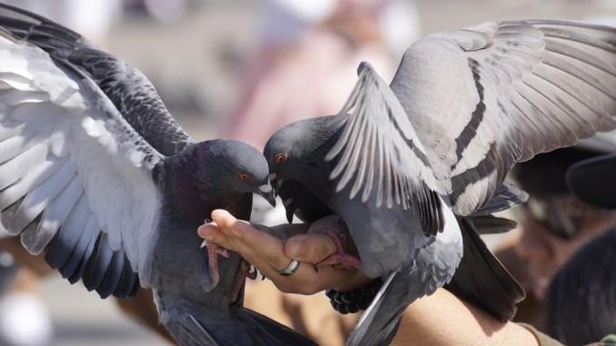 Invasione dei piccioni alla stazione di Perugia, e c'è qualcuno che gli dà anche da mangiare