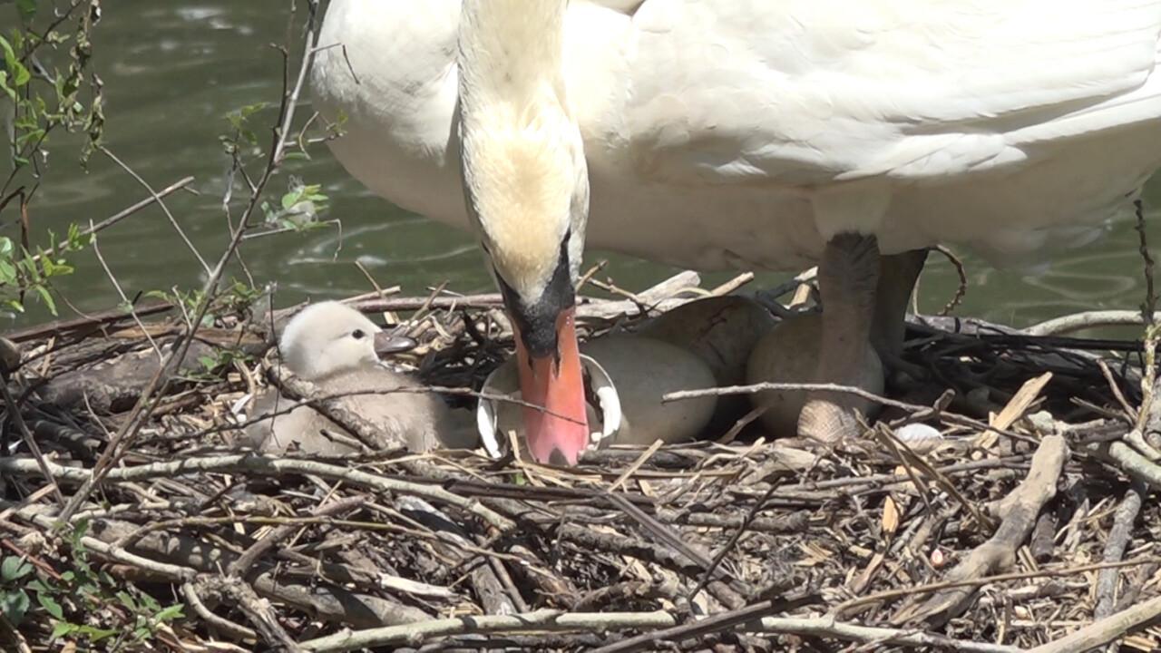 Tre cigni nascono al parco di Città di Castello, sono i figli di Checco e Gisella