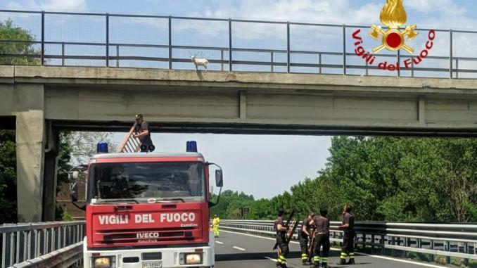 Capretto salvato dai vigili del fuoco, era finito sul cavalcavia dell'A1