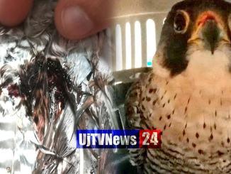 Falco pellegrino ferito da una fucilata salvato dalla Polizia Provinciale