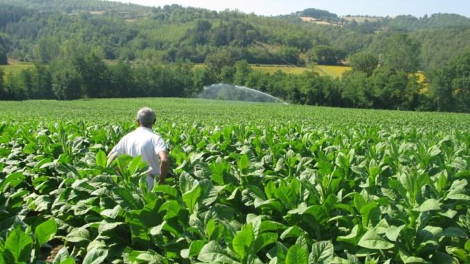 Tabacco Mst, 70 milioni per garantire acquisto Kentucky