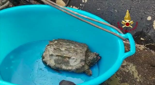 Catturata a Narni tartaruga azzannatrice, molto pericolosa