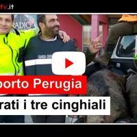 Abbattuti i tre cinghiali dell'aeroporto di Perugia, pista libera