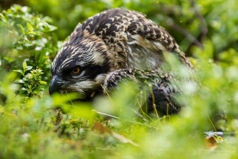 Junger Fischadler kurz nach seiner Beringung im Hessenreuther Wald. Bild © VLAB