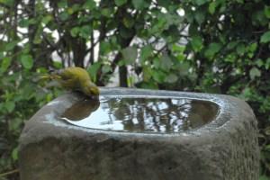 Der Grünfink trinkt gern, badet aber nicht