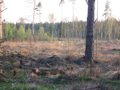 Windwurfflächen im Wald sind wichtige Nahrungsgebiete und Lebensräume für Säugetiere, Vögel und Insekten
