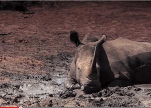 جنوب افريقيا: وحيدُ القرن في خطر