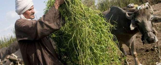 Un agricultor egipcio alimenta con forraje fresco a las vacas. Foto: FAO